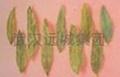 Senna Leaf extract