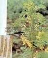 Astragalus P.E.