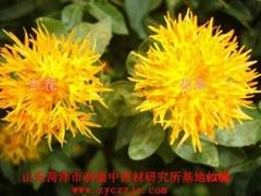 供應紅花種子