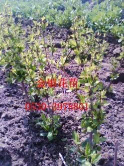 金银花种苗 1