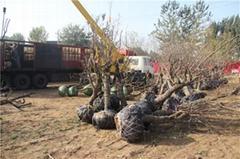 出售枣树10公分20公分