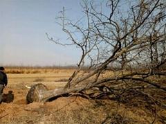 供应枣树《直径30公分》