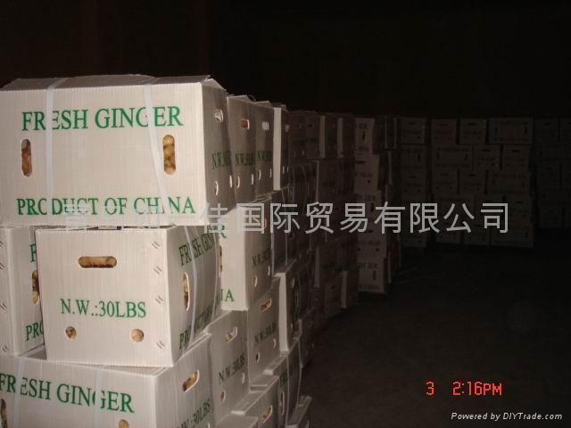 CHINA FRESH JUMBO GINGER 18