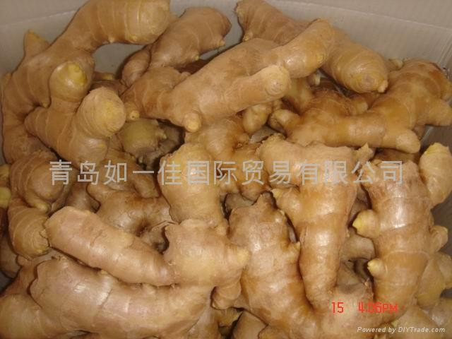 CHINA HIGH QUALITY FRESH GINGER 15