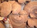 Ganoderma lucidum 2