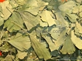 Ginkgo  Leaves 4