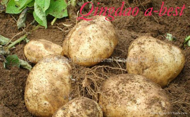 Fresh potatoes/Murphy 3