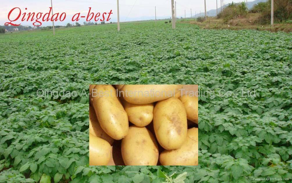 保鲜土豆 3