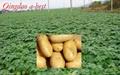 Organic Fresh potato 3