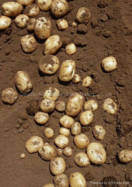 2015 crops Fresh holland potatoes 1