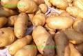 New Fresh holland potato 2