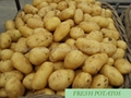 2015 new crops POTATO