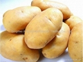 Fresh potato 5