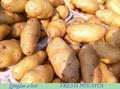 Fresh holland potato 2