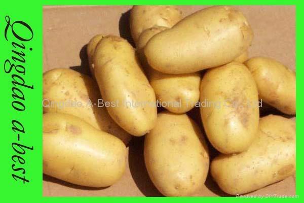 Fresh holland potato 3