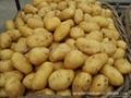Fresh holland potato 5