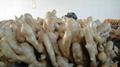2021 New Chinese fresh ginger 18