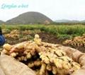 Fresh air dried ginger 4