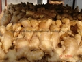 2021 BIG SIZE AIR DRIED GINGER 14