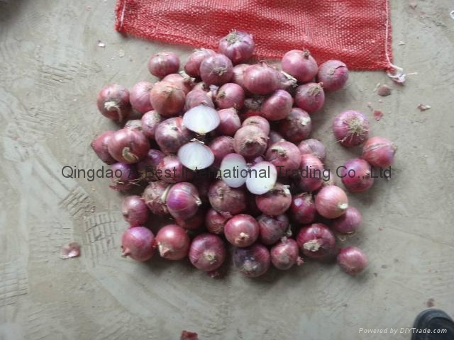 NEW CROPS FRESH RED ONIONS 9
