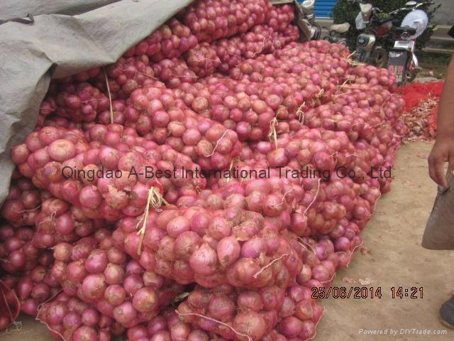 NEW CROPS FRESH RED ONIONS 13