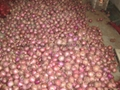 NEW CROPS FRESH RED ONIONS 14