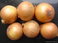 2019 CROPS FRESH YELLOW ONION 10