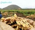 20121 GAP CHINA AIR DRIED GINGER 4