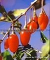 Goji berry 5