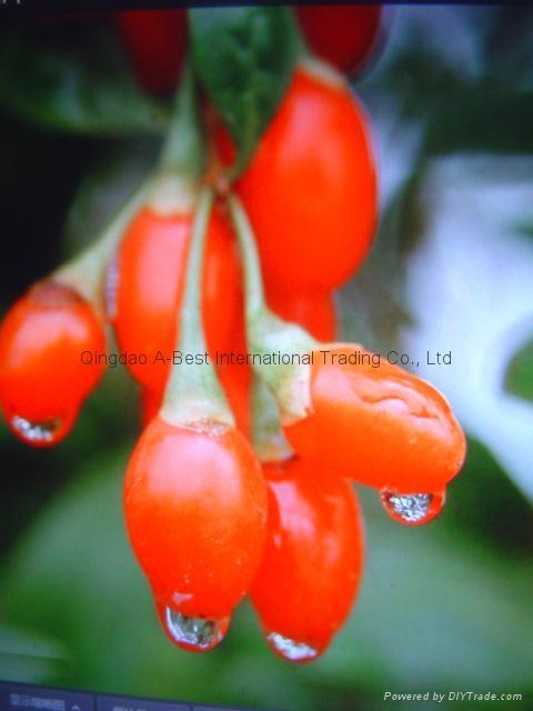 Goji berry 16