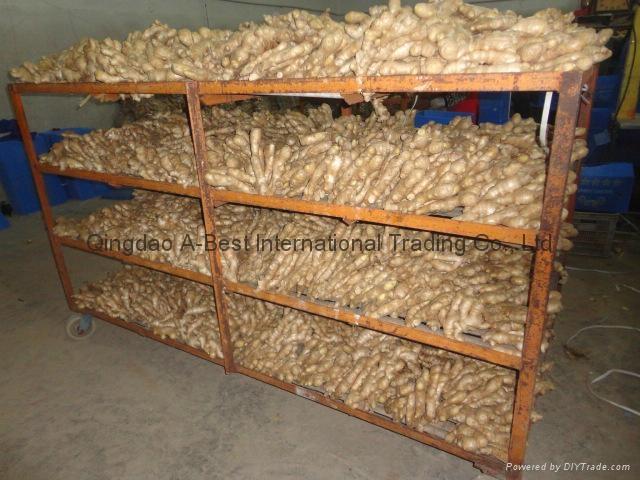 2021 Air dried fresh JUMBO ginger 13