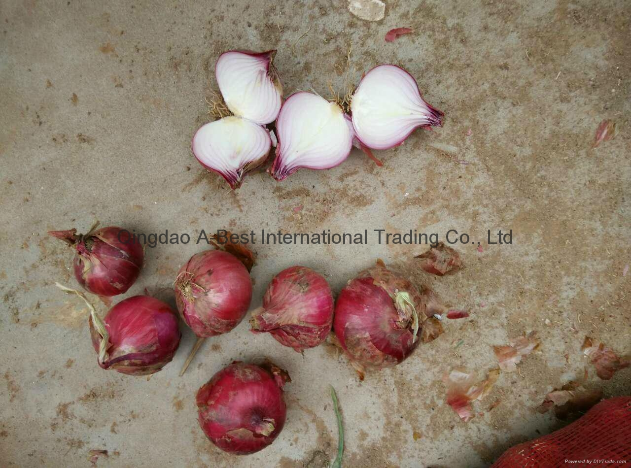 2016 new crops fresh red onion 4