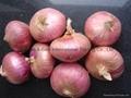 Fresh red onion 13
