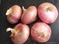 Fresh red onion 16