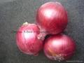 Fresh red onion 17
