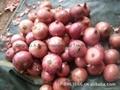 Fresh red onion 19