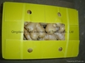 New crops air dried fresh ginger 6