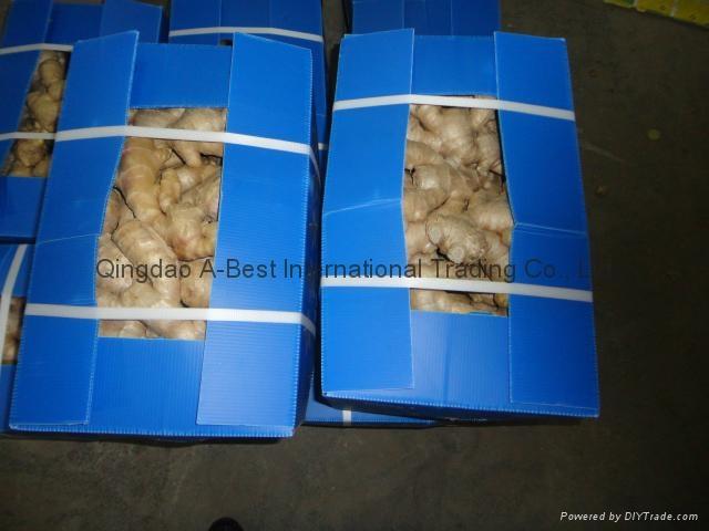 2021 New crops air dried fresh ginger 11