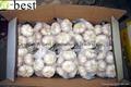 Fresh Garlic 16