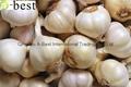 Fresh Garlic 15