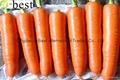 有机胡萝卜 6