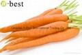 保鲜胡萝卜 5