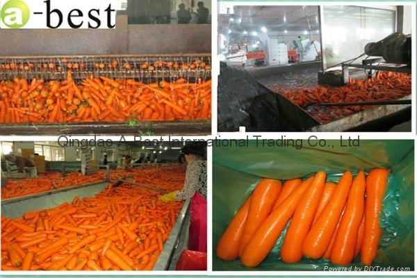 保鲜黄萝卜 5