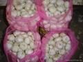 NEW  PURE WHITE Fresh Garlic