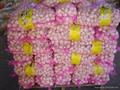 NEW  PURE WHITE Fresh Garlic 4