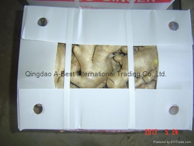 Jumbo Air dried ginger 19