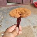 Ganoderma lucidum 9