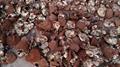 Ganoderma lucidum 5