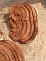 Ganoderma lucidum 3