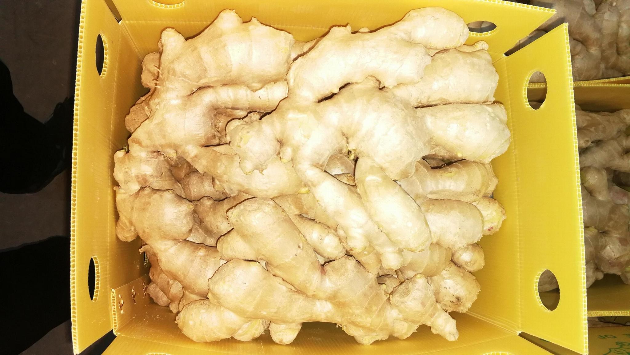 2021 Air dried fresh ginger 9